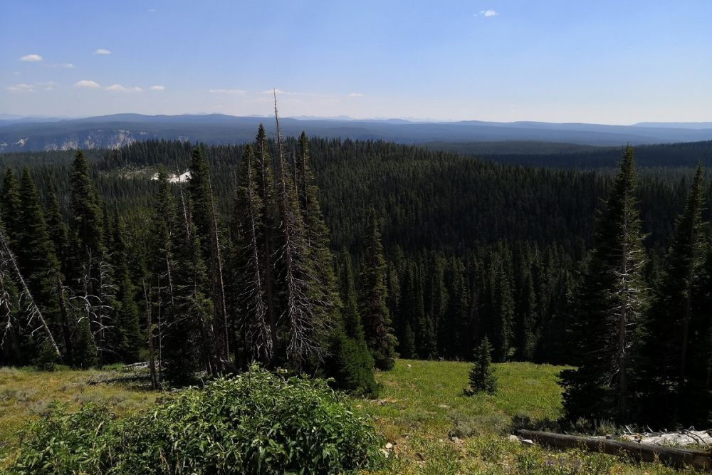 Forest in Yellowstone