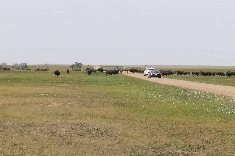 Bison jam in Badlands National Park.