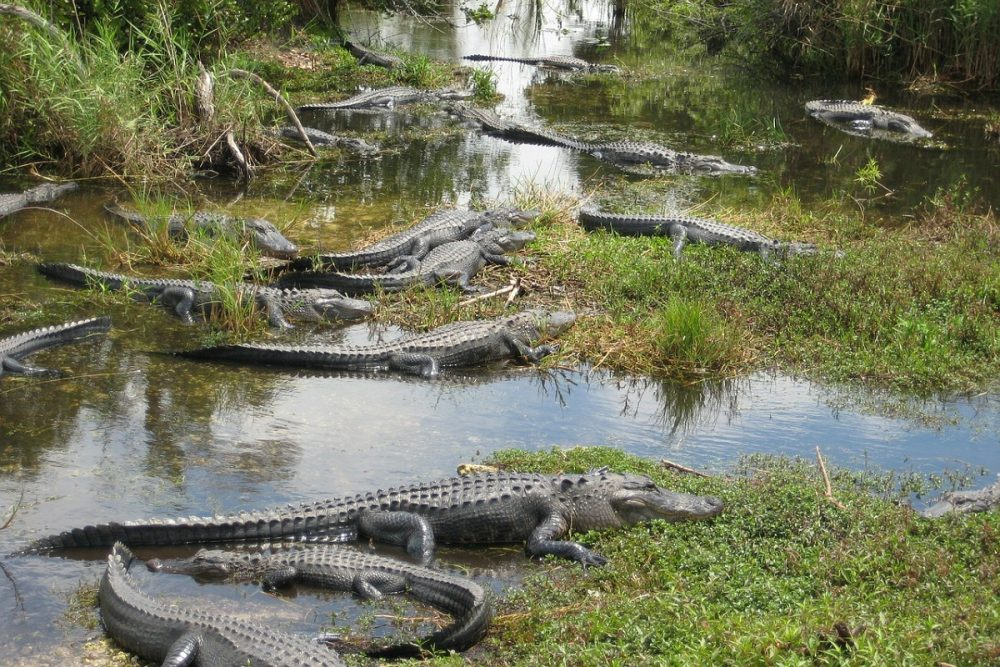 Road trip to the alligators in the Everglades