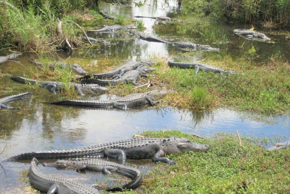 Alligators in Everglades