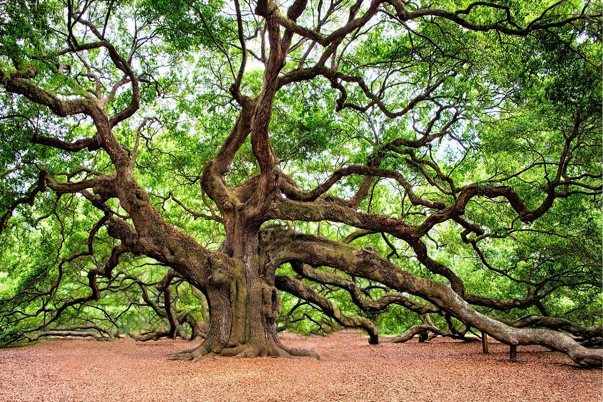 The Angel Oak Tree in Charleston