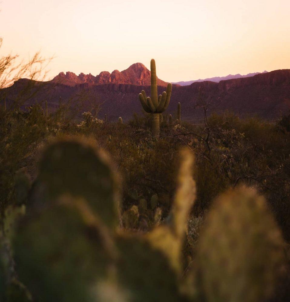 Cacti in desert during sunset