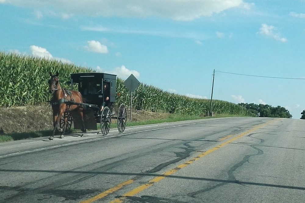 Amish horse wagon by corn field