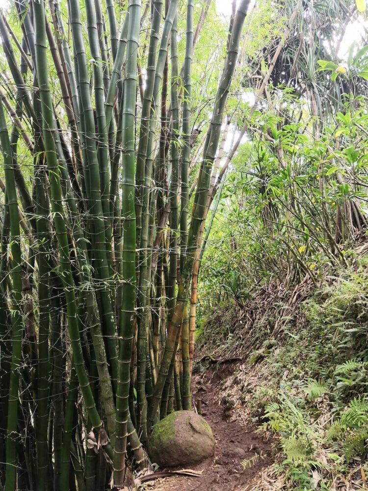 Bamboo forest on Kauai