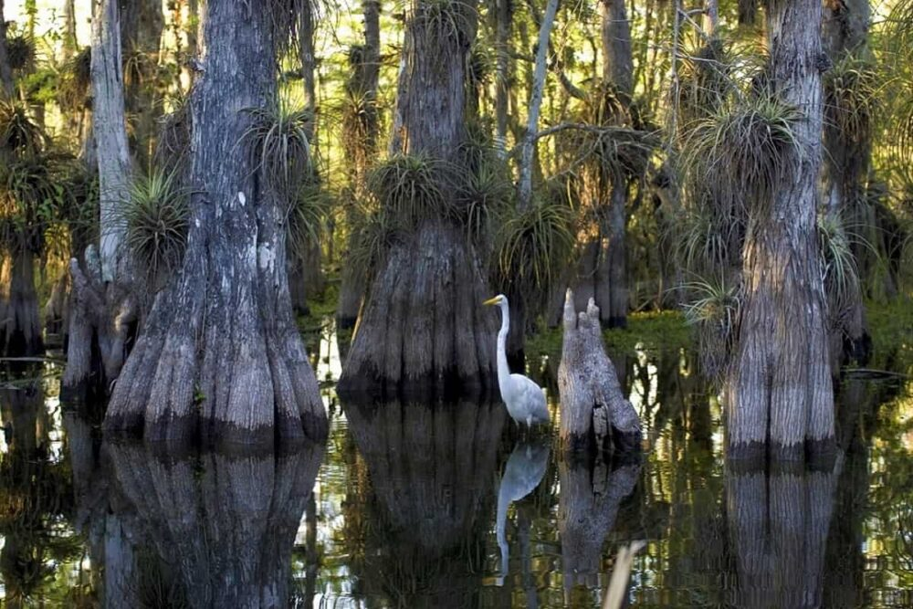 A careful bird in visits the Everglades swamp