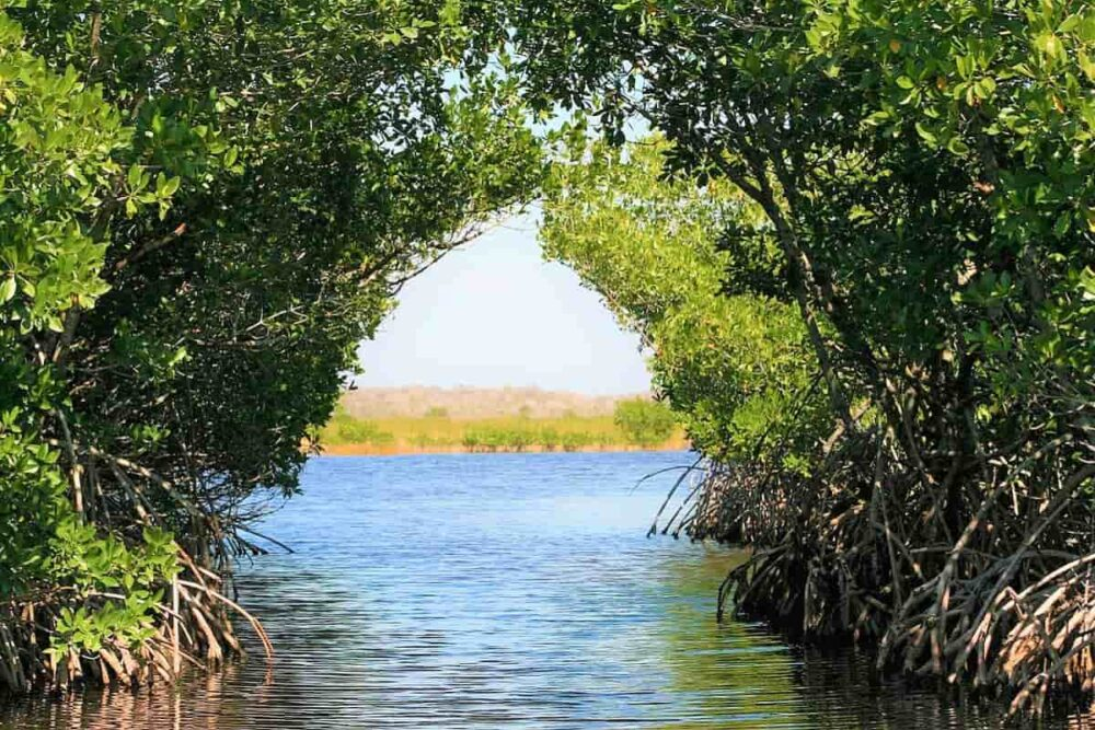 A passage in the mangrove of Everglades