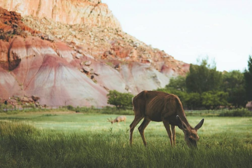 Deer in Capitol Reef National Park during daytime
