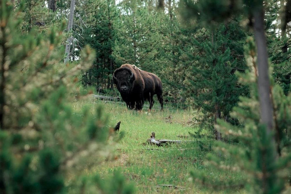 Bison in Yellowstone between trees