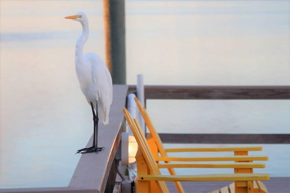Egret enjoying Clearwater Beach, Florida