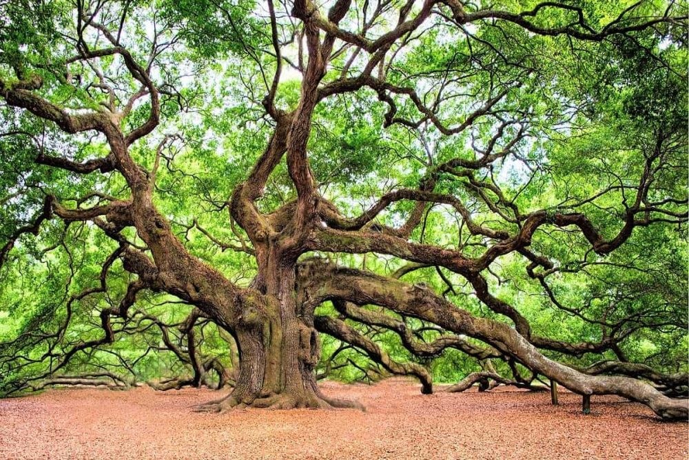 Huge oak tree in Savannah