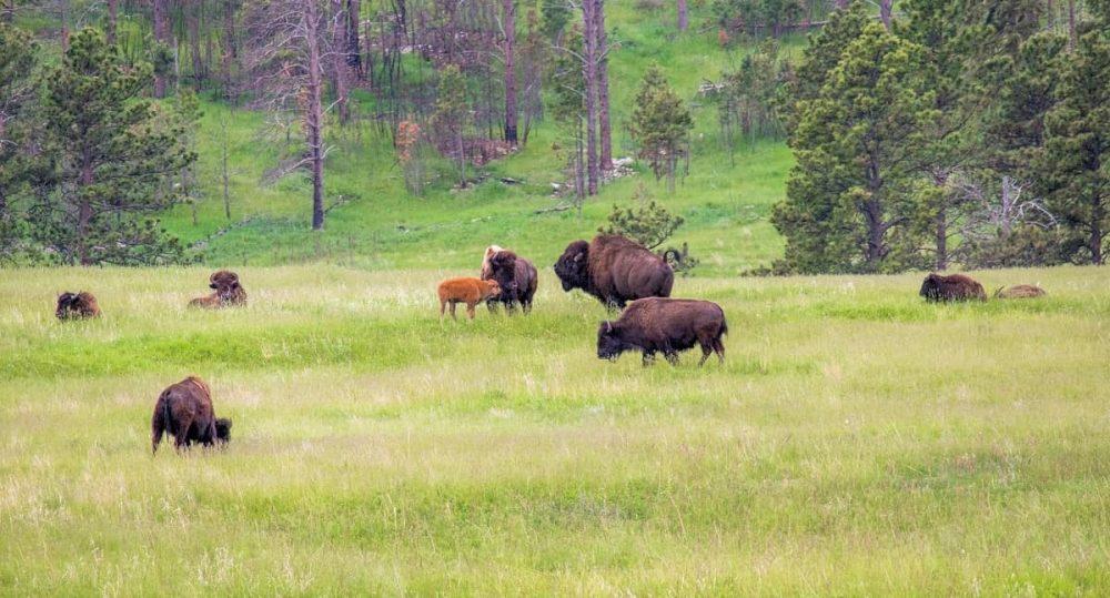 Custer State Park near Mount Rushmore