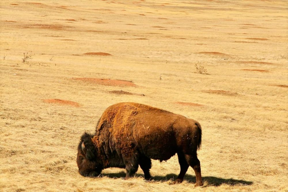 Grazing bison not far away from places to stay near Wind Cave National Park in Hot Springs