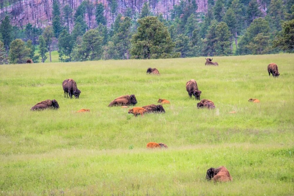 Bison on field in Custer State Park