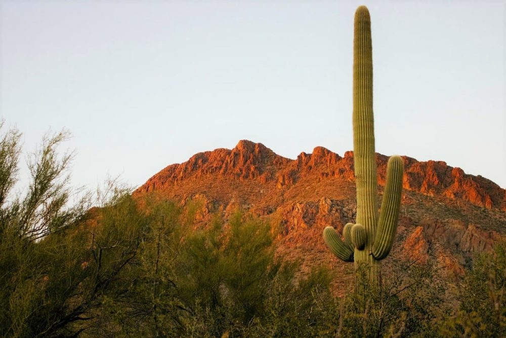 Cactus pointing towards the sky in Saguaro National Park